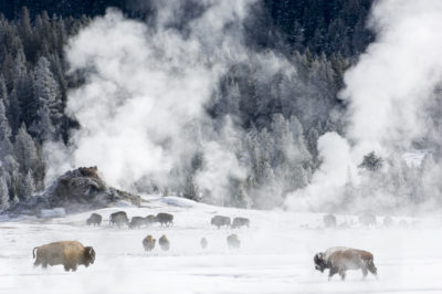 Bison gather around hot springs in the Firehole Valley
