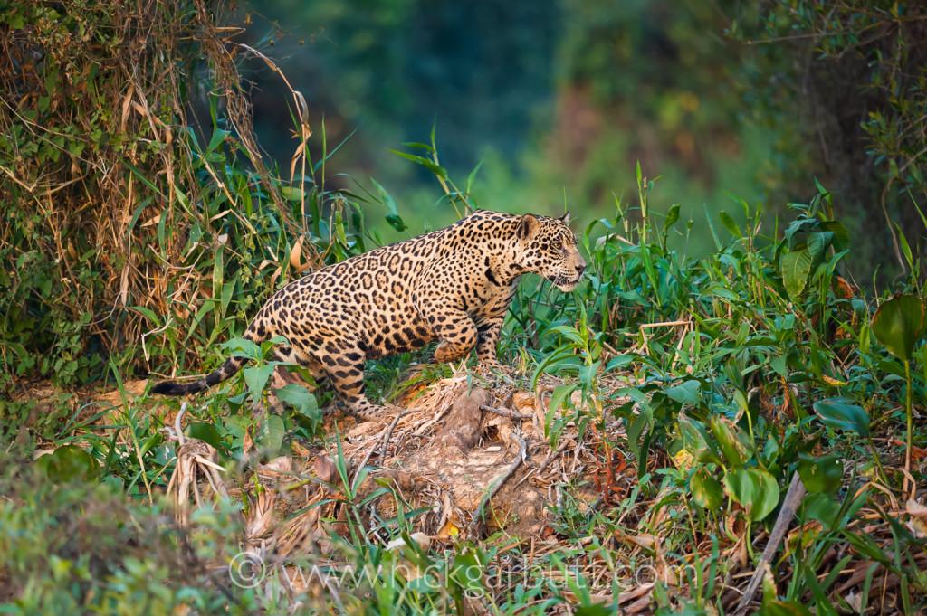 Male Jaguar stalking Cuiaba River Pantanal Brazil
