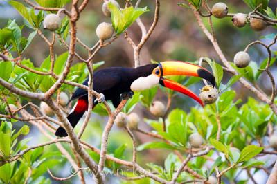 Toco Toucan feeding Cuiaba River Pantanal