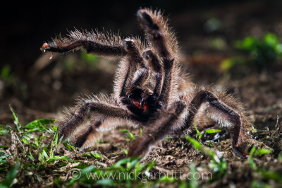 Colombian Pink-toed Tarantula aggressive / defensive posture. Paujil Nature Reserve, Magdalena Valley, Colombia.