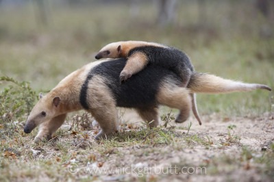 Southern Tamandua carrying its young, Pantanal