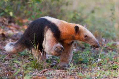 Southern Tamandua Collared Anteater Lesser Anteater Pantanal