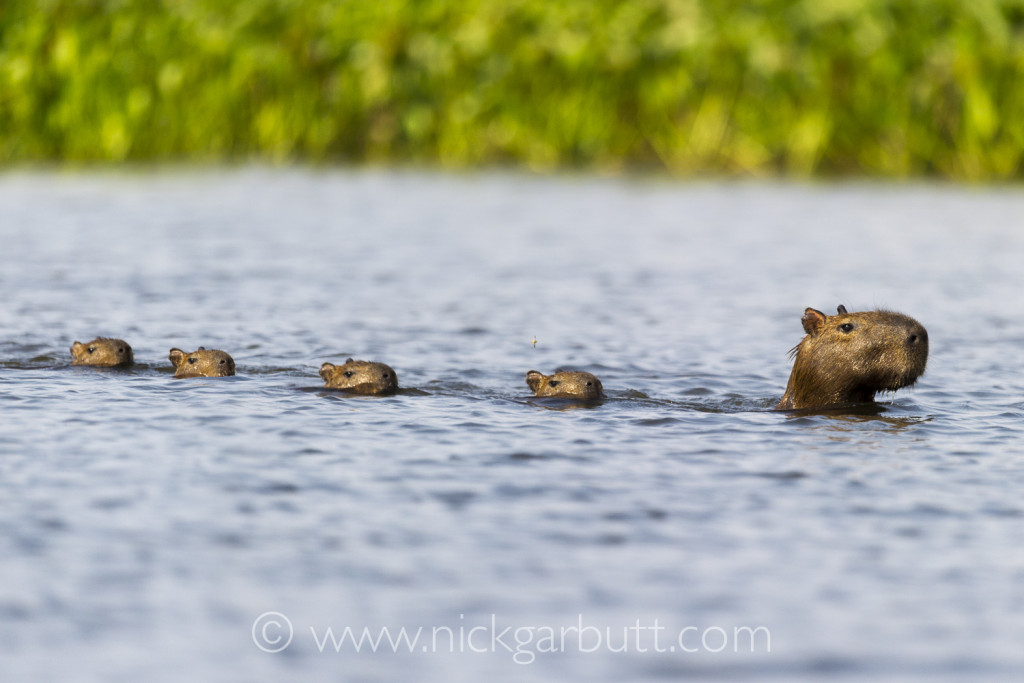 Capybara swimming with young, Paraguay River, Taiama Reserve