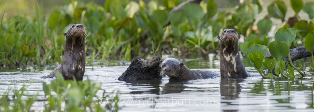 Giant Otters, Paraguay River, Taiama Reserve
