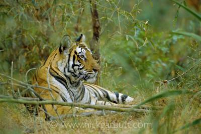 Tigress resting