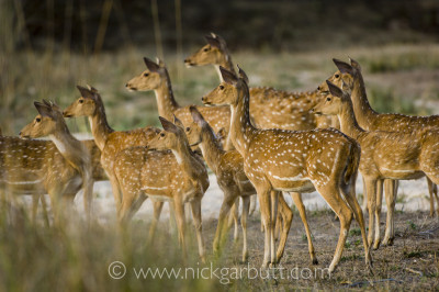 Spotted Deer or Chital alert to a predator