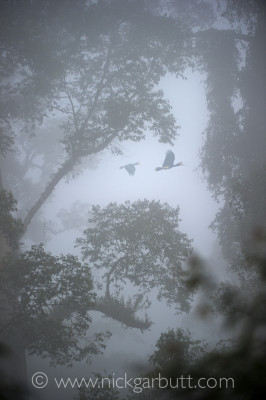 Light levels were extremely low when I took this photo of Rhinoceros Hornbills flying through a misty canopy. The ISO was set at 3000.