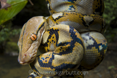 Juvenile Reticulated Python