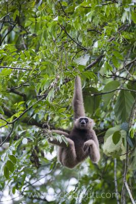 Müller's Bornean Gibbon in Danum