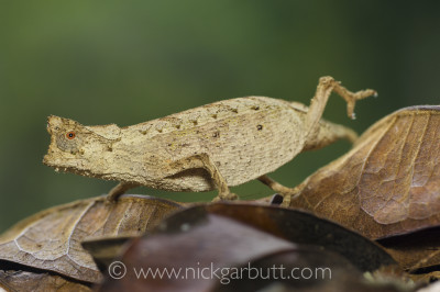 Stump-tailed or Leaf Chameleon (Brookesia superciliaris) walking across leaf litter. Masoala National Park, Madagascar.