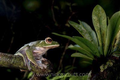 I spent over an hour getting the lighting right on this White-lipped Tree Frog on the Masoala Peninsula in Madagascar. Three flash guns were required.