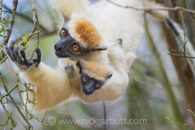 Golden-crowned Sifaka and infant, Daraina, Madagascar