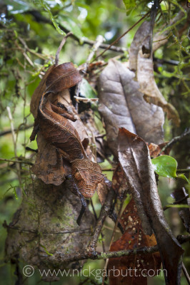 A shading diffuser and two flashes with soft boxes were used to take this photo of a Satanic Leaf-tailed Gecko (Uroplatus phantasticus) camouflaged on dead leaves in the rainforest understory, Ranomafana National Park, Madagascar.