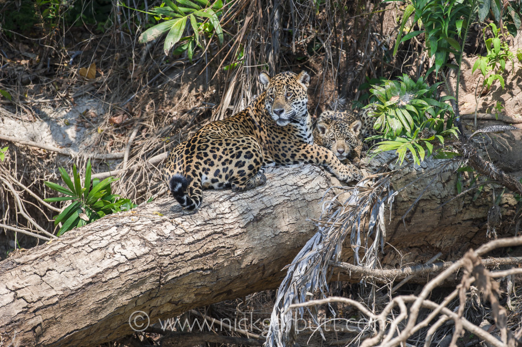 Female Jaguar with young cub, in the Pantanal