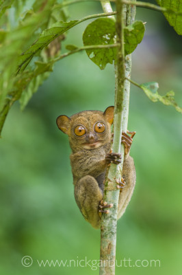Not only was I able to be at eye-level with this Western Tarsier in Borneo, I was also able to create a soft out-of-focus background by virtue of a large aperture and considerable separation between the subject and the background foliage.