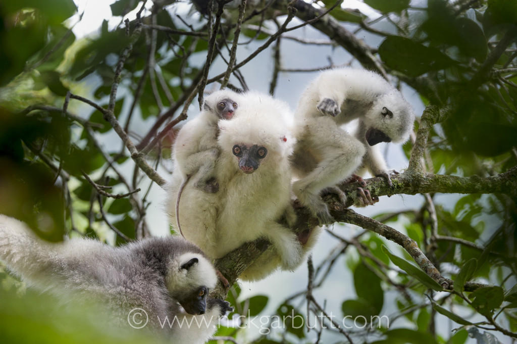 Female Silky Sifaka with infants