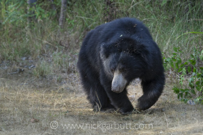 Sloth Bear foraging
