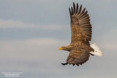 Sea-Eagle_2