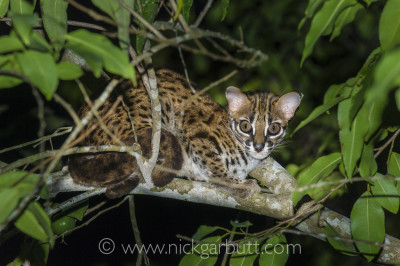 Sometimes normally shy and reclusive species become tolerant around lodges and research camps. Here a leopard cat (Felis bengalensis) sits in a tree adjacent to a lodge in Borneo.