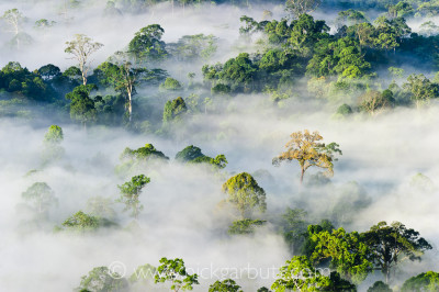 Morning mist hanging over Lowland Rainforest, Danum Valley