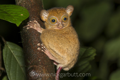 A Western Tarsier seen on a night walk