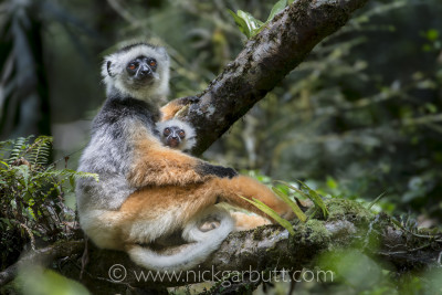 This shot of a Diademed Sifaka with its infant was taken around 11.00am. High cloud covering the sun, produced the relatively flat, diffuse lighting that allowed both detail and accurate colours to be shown.