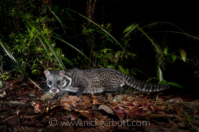 Four flashes controlled by Pocket Wizards were used for this Malay Civet in Maliau Basin, Borneo. Two flashes were positioned to provide back lighting, one flash illuminated the foliage behind and one flash provided the front lighting for the civet and leaf-litter. Considerable experimentation was needed to get it right.