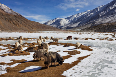 Goats grazing in Ladakh