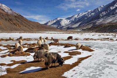 Goats grazing in Ladakh