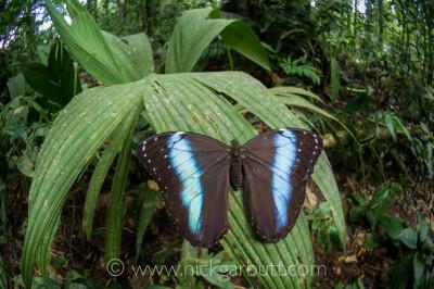Blue Morpho Butterfly in Ecuadorian Amazon