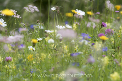 A riot of colour: An Alpine meadow in full bloom