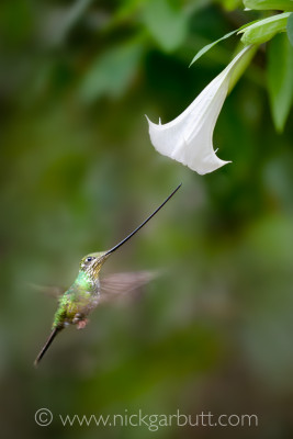 Sword-billed Hummingbird feeding at a Devil's Trumpet Flower