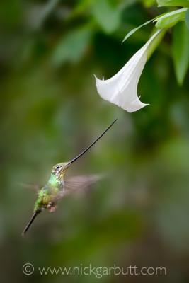 Sword-billed Hummingbird feeding at a Devil's Trumpet Flower