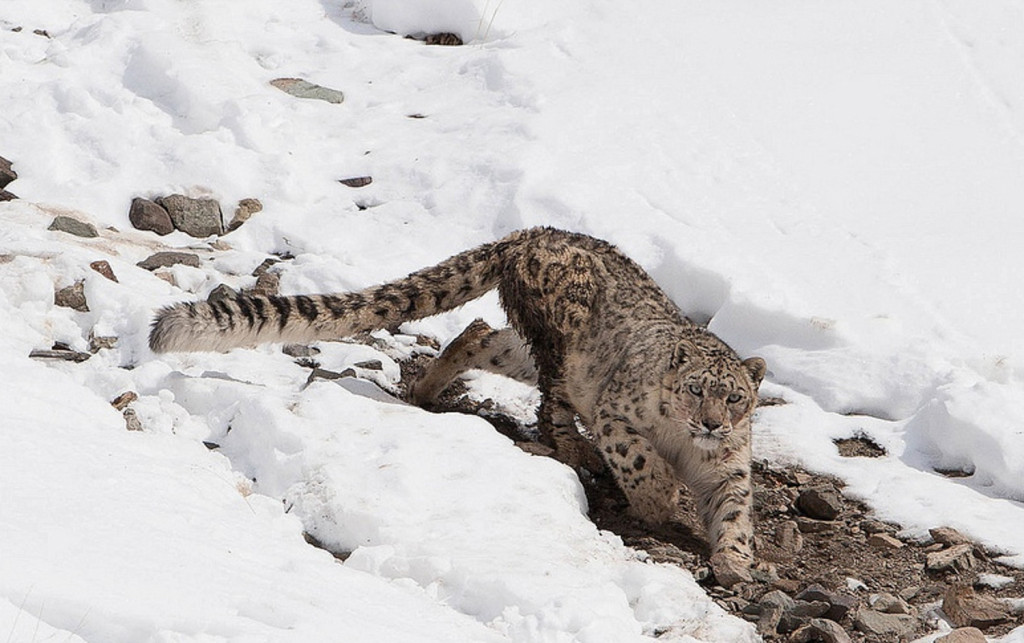 A Snow Leopard prowls snowy Himalyan slopes