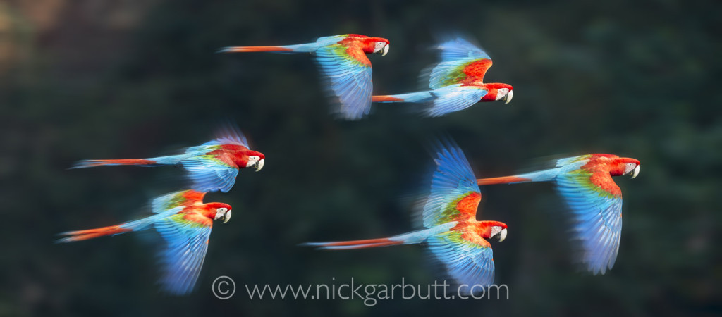 Red-and-Green Macaws in flight at Buraco das Araras