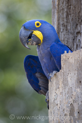 Hyacinth Macaw in its nest hole