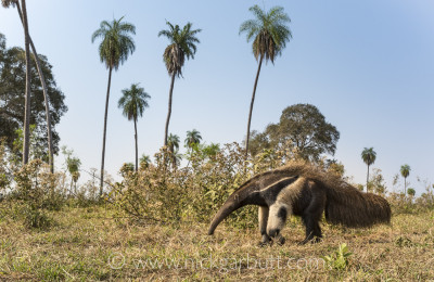 Giant Anteater, Southern Pantanal
