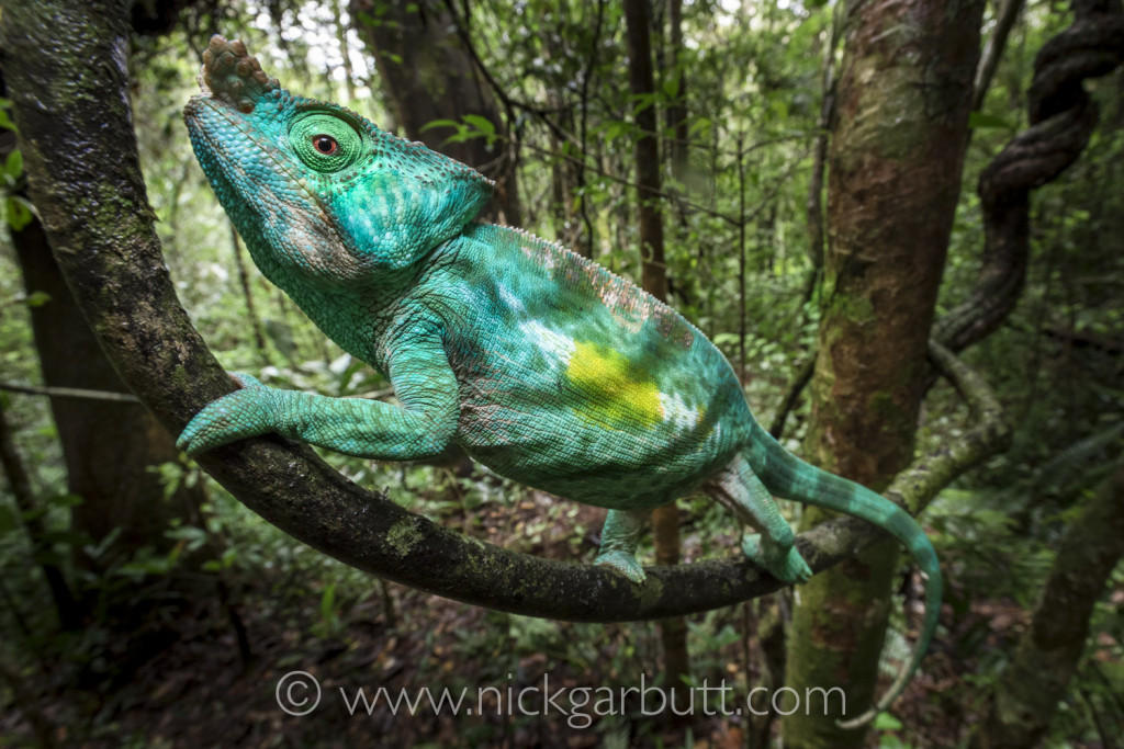 A male Parson's Chameleon climbing