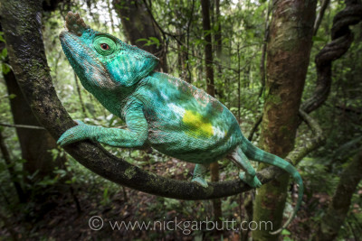 A male Parson's Chameleon climbing in forest understorey. Andasibe-Mantadia NP, Madagascar
