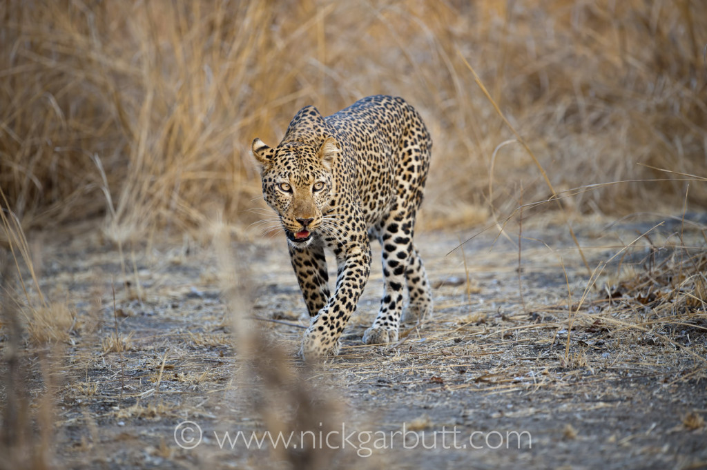 A Leopard prowls at dusk