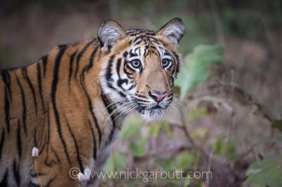 Young Tiger (Panthera tigris tigris) in Tadoba-Andhari Reserve