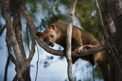 Female Fosa climbing