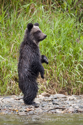 Grizzly Bear cub (7 months)