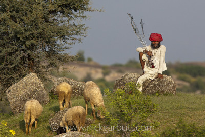 Rabari herdsman and his flock