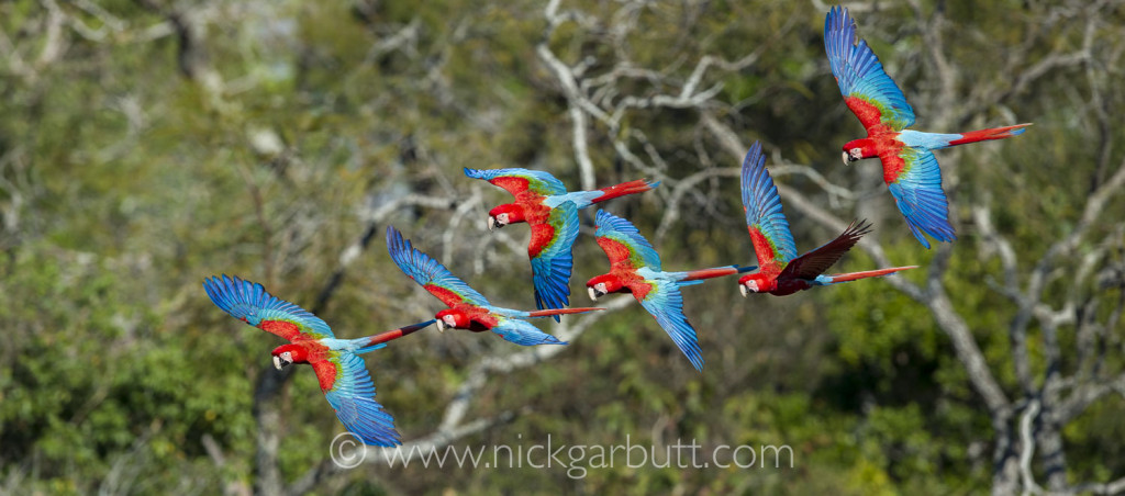 Red-and-Green Macaws at Buraco das Araras