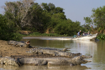 Yacare Caiman bask along a Pantanal waterway