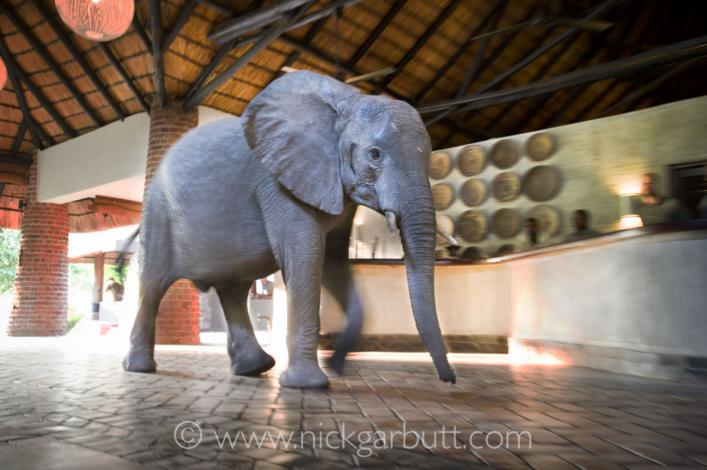 An elephant walks through reception at Mfuwe Lodge