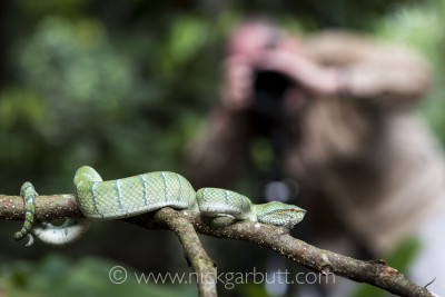 Photographing a Wagler's Pit Viper in Danum Valley