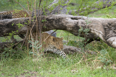 A male leopard begins stalking