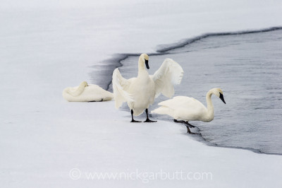 Trumpeter Swans on the edge of the Upper Yellowstone River